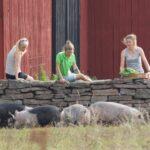 Ein gutes Miteinander von Mensch, Tier und Umwelt - Urlaub auf der Insel Öland/Schweden