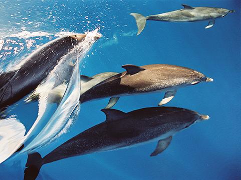 Delfin-und-Walbeobachtung-La-Gomera-Delfingruppe