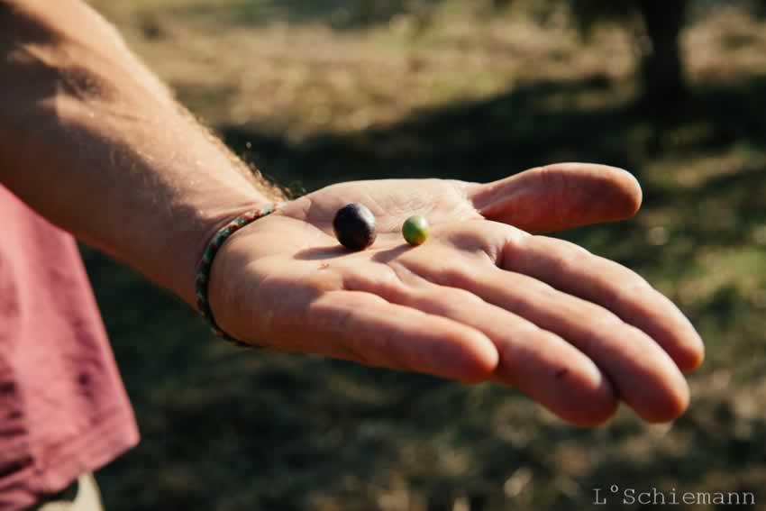 hand-mit-oliven