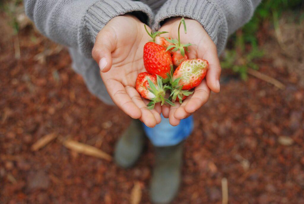 Hand-Frische Erdbeeren
