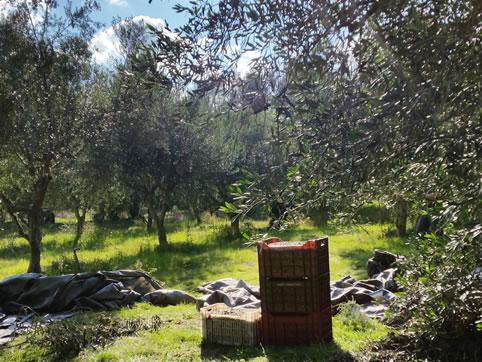 Bei der Olivenernte auf Korfu dabei sein!